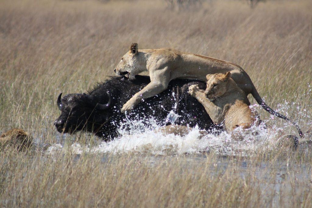 Lejon jagar buffel