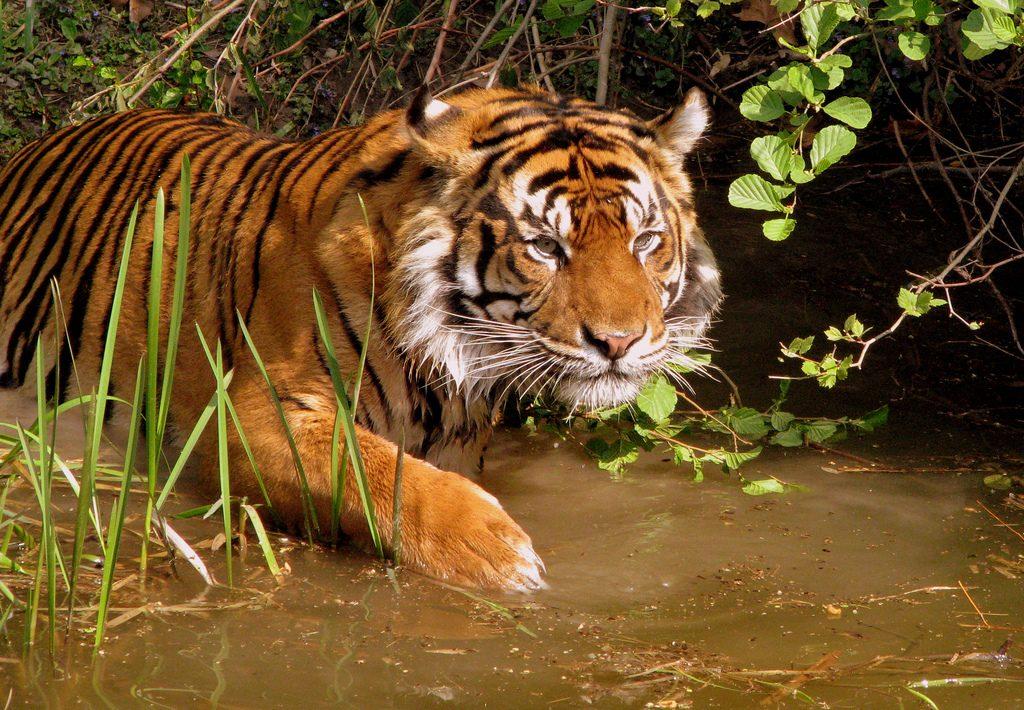 Tiger som smyger i vatten